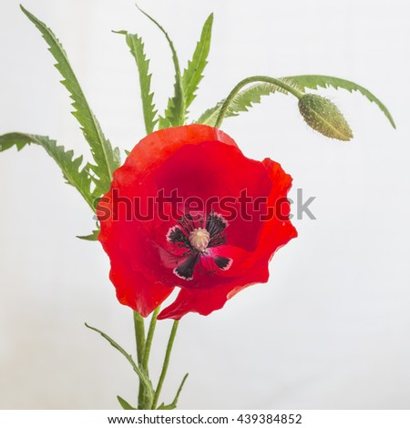 Beautiful blooming poppy . Selective focus - stock photo