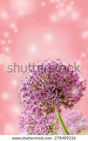 Beautiful Blooming Purple Allium Close Up, Greeting or Wedding Card design. Seasonal flower background. - stock photo
