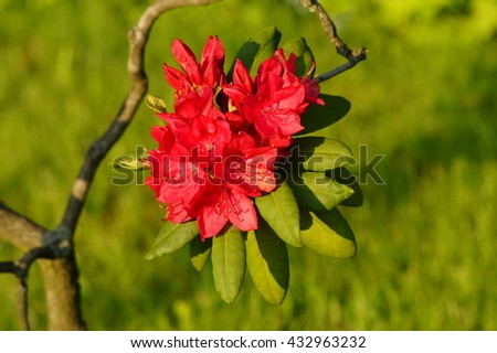 Beautiful blooming red  azalea - rhododendron (Rhododendron) - stock photo