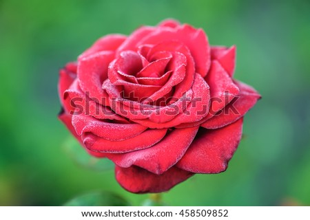 Beautiful blooming red rose on a bush in the garden, shallow DOF, soft focus. - stock photo