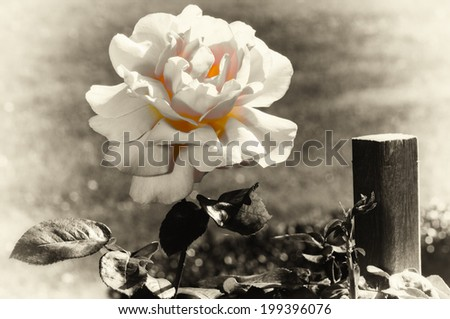 Beautiful blooming rose  - stock photo