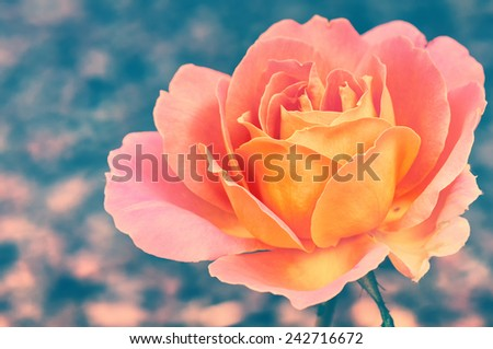 Beautiful blooming rose in vintage style  - stock photo