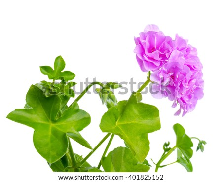 beautiful blooming twig of lilac geranium flower is isolated on white background, close up - stock photo