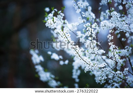 Beautiful blooming white flowers of plum tree. Close up of springtime blooming tree. - stock photo
