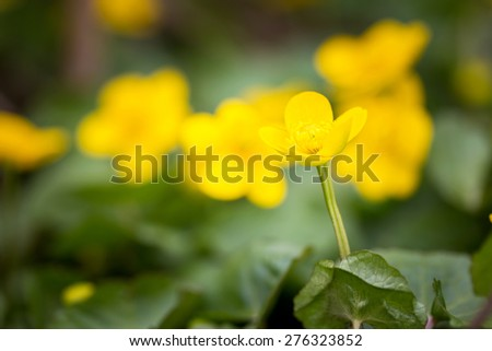 Beautiful blooming wild yellow marigolds flowers. Plants growing on swamps or wetlands. - stock photo