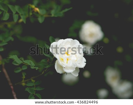 Beautiful blossom branch with flowers of white briar, dog-rose. Shallow DOF. Vintage filter. Spring season concept - stock photo