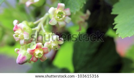 beautiful blossom of currant close up, macro - stock photo