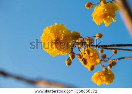 Beautiful blossom yellow cochlospermum regium flower on branch. - stock photo