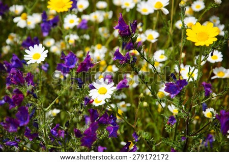 Beautiful blossoming meadow with daisy and bell flowers. Selective focus. - stock photo
