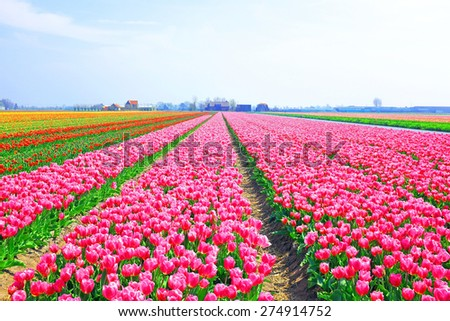 Beautiful blossoming tulip fields in the countryside from the Netherlands