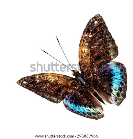 Beautiful blue and brown flying butterfly, Black-tip archduke butterfly, on white background - stock photo