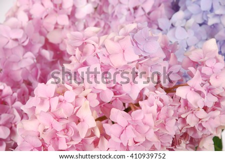 Beautiful blue and pink  hydrangeas flower background - stock photo