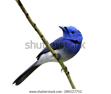 Beautiful blue bird, black-naped monarch perching on the branch isolated on white background - stock photo