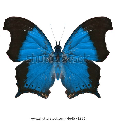 Beautiful Blue butterfly upper wing profile isolated on white background.