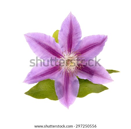 Beautiful blue clematis close-up isolated on white background. Clematis cultivar 'Piilu'