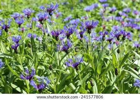 Beautiful blue cornflowers blooming in summer garden.  - stock photo