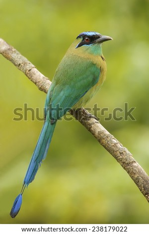 Beautiful blue-crowned motmot photographed in Costa Rica. - stock photo