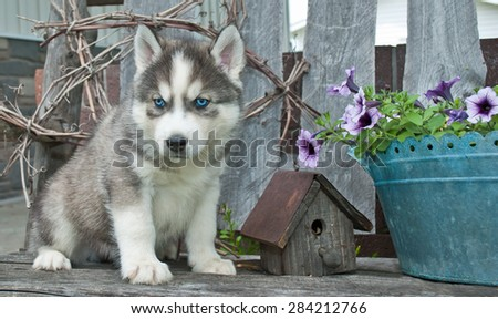 Beautiful blue eyed Husky puppy sitting on a bench next to a bird house and flowers.