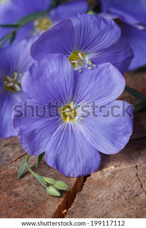beautiful blue flax flowers macro on an old wooden board. vertical  - stock photo