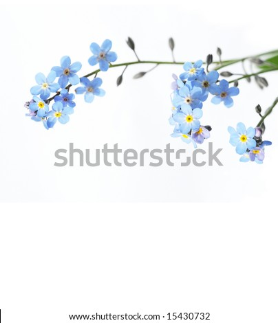 beautiful blue flowers (forget-me-nots) against white background - stock photo