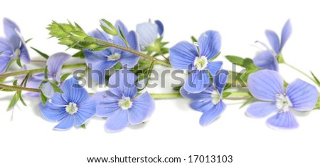beautiful blue flowers (forget-me-nots) isolated on white background - stock photo