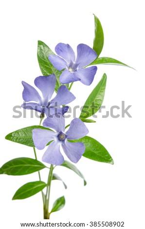 Beautiful blue flowers periwinkle on white background - stock photo
