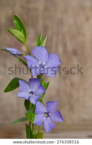 Beautiful blue flowers periwinkle on wooden background - stock photo