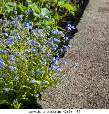 Beautiful blue Forget-me-nots in flower, growing on path border.