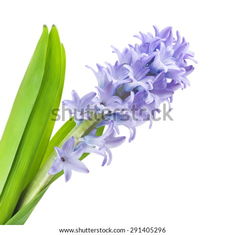 beautiful blue hyacinth, isolated on white background - stock photo