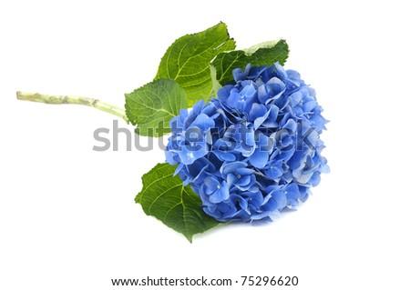 Beautiful blue hydrangea - stock photo