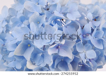 Beautiful blue hydrangeas flower background. Natural color. - stock photo