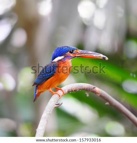 Beautiful blue Kingfisher, male Blue-eared Kingfisher (Alcedo meninting)  on the branch