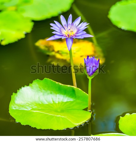 beautiful blue lily against the water and green leaves, closeup  - stock photo