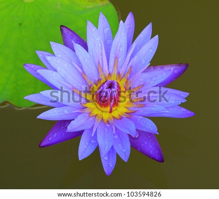 Beautiful blue lotus and water drop