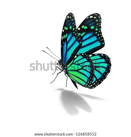Beautiful blue monarch butterfly isolated on white background