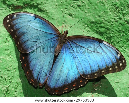 Beautiful blue morpheus butterfly, wings open on green wall, san jose, costa rica, central america. Exotic vibrant colorful insect in tropical setting - stock photo
