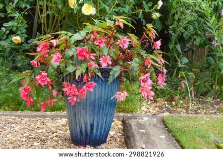 Beautiful blue pot with pink double fuchsia flowers. - stock photo