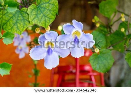 beautiful blue purple soft nice flower of Laurel clock vine, Blue trumpet vine, Thunbergia laurifolia cold herbs in Thailand and tropical zone