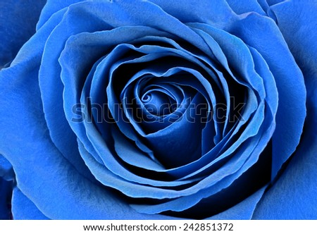 Beautiful blue rose. Macro image. - stock photo