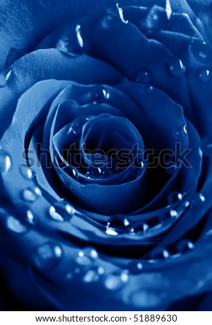 beautiful blue rose with water drops - stock photo