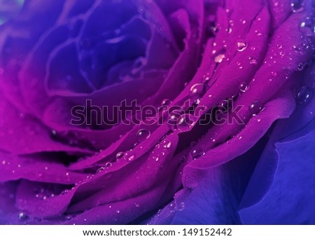 beautiful blue rose with water drops  surface close up background - stock photo