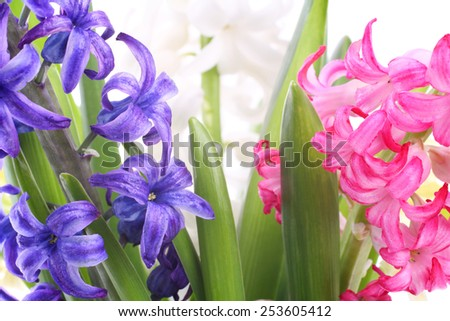Beautiful blue-violet, pink and white hyacinth flowers closeup - stock photo