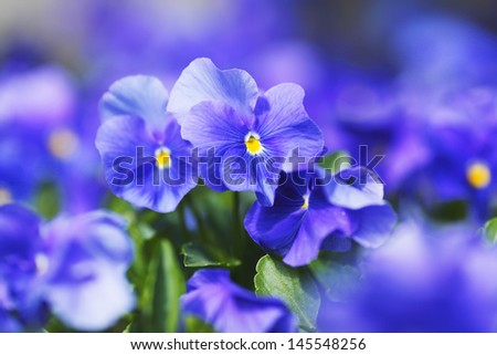 Beautiful blue violets in garden close-up