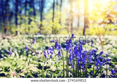 Beautiful bluebells in spring forest - stock photo
