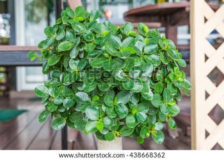 beautiful bonsai in a  garden - stock photo