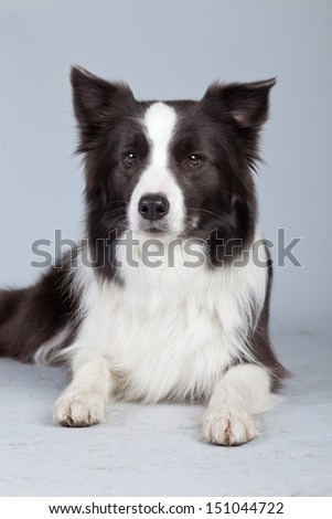 Beautiful border collie dog isolated against grey background. Studio portrait.