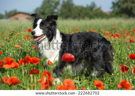Beautiful Border Collie posing in a red poppy  - stock photo