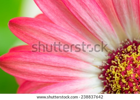 Beautiful botanical background of macro detail of a pink Gerbera flower with variegated bicolour pink and white rays. - stock photo