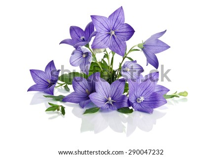 beautiful  bouquet from Bell flowers isolated on white  background - stock photo