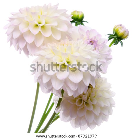Beautiful bouquet of dahlias on a white background - stock photo